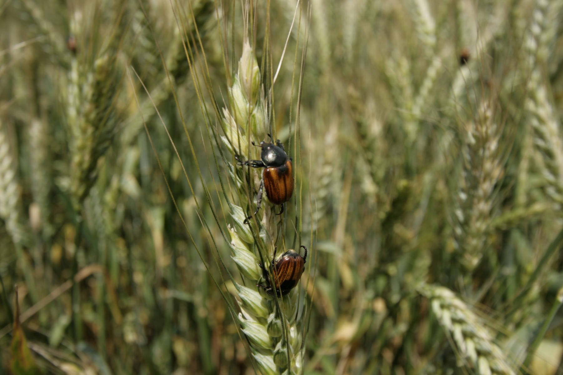 Хлебные жуки: жук-кузька жук-крестоносец, жук-красун - пшеница, рожь, ячмень, подсолнечник, сахарная свекла, картофель, сеянцы плодовых культур