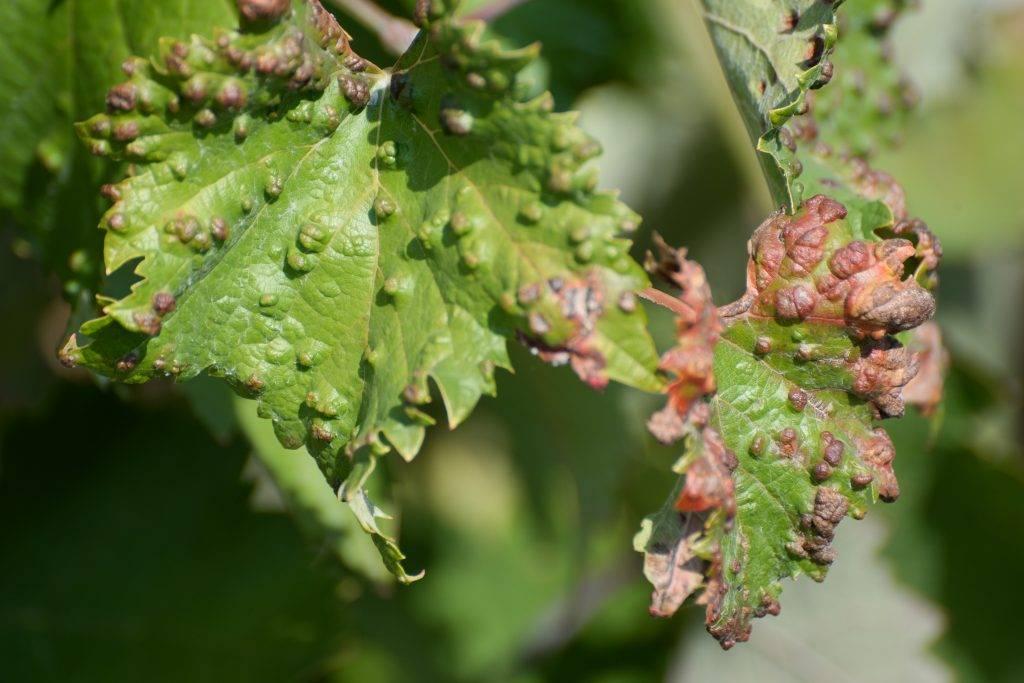 Тля на винограде - методы борьбы: народные и химикаты