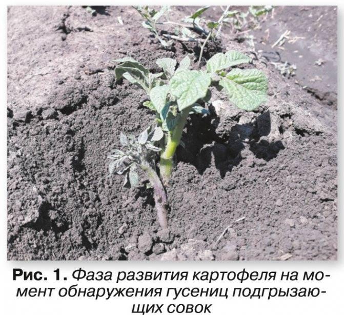 Вредители картофеля: фото, описание и лечение
