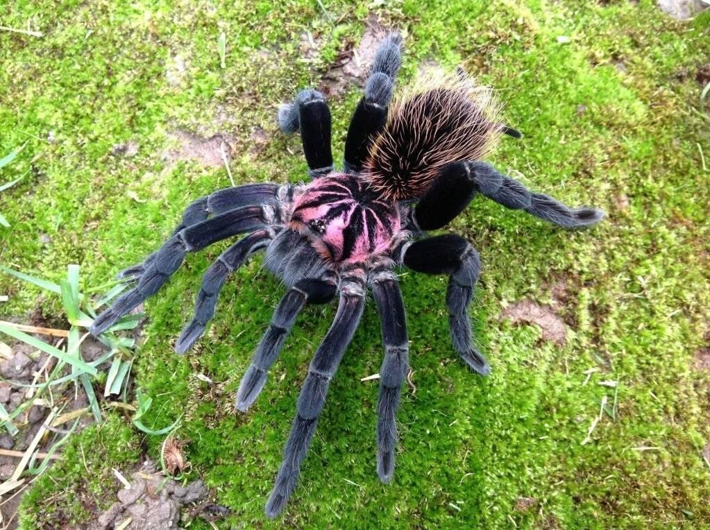 Самый большой паук в мире: топ-10 гигантов | golubevod.net