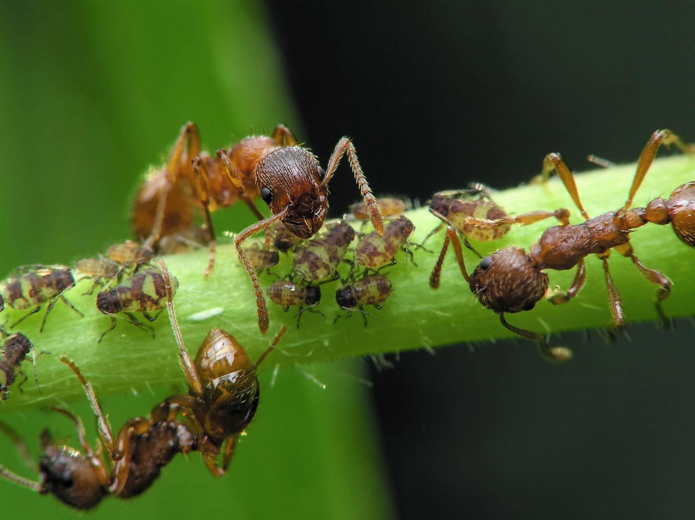 Садовые муравьи – польза и вред для сада и огорода