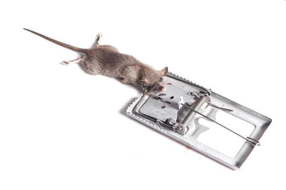 Крысоловки: обзор лучших конструкций (тех, которые можно купить, и самодельных)