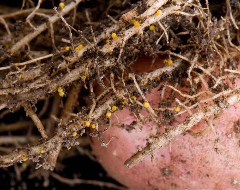 Золотистая картофельная нематода: описание и лечение, меры борьбы, фото