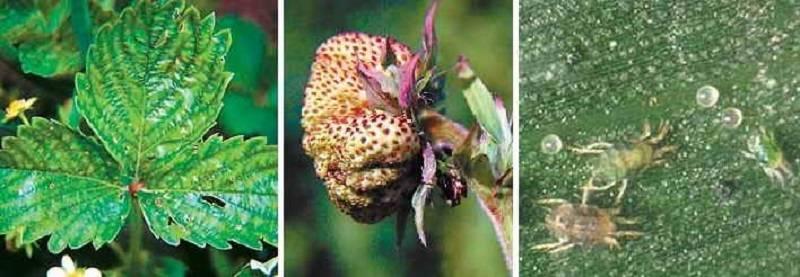 Клещ на клубнике: чем опасен и как бороться с вредителем ягоды