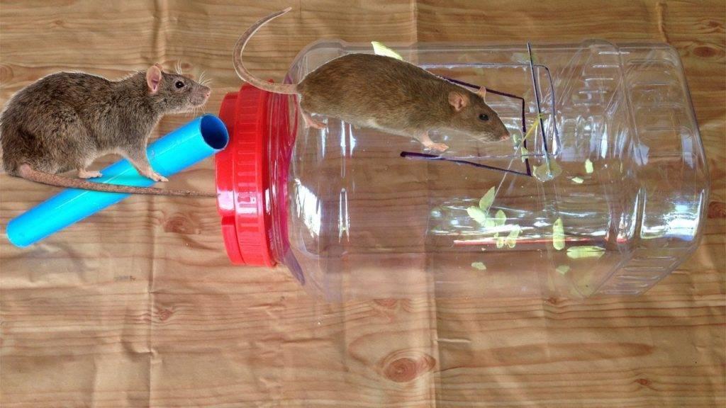 Как поймать крысу в доме и на улице?