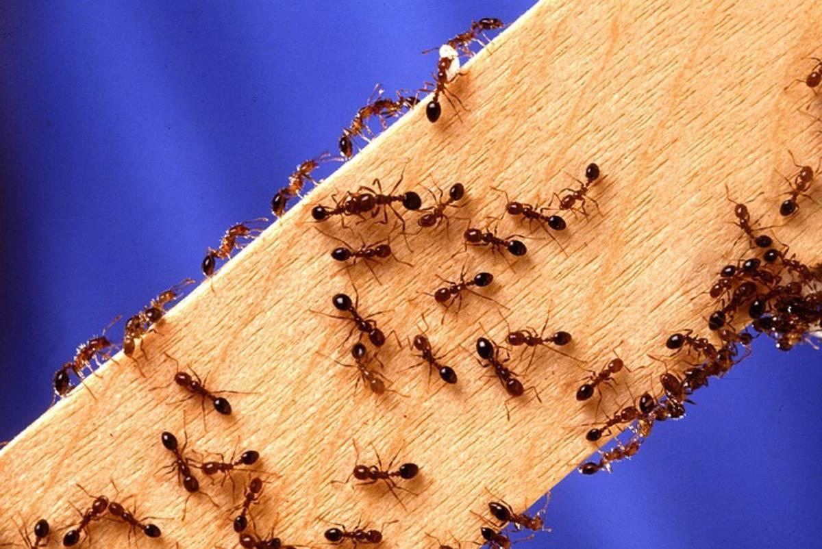 Муравьи на пасеке - как избавиться, чем обрабатывать без вреда для пчел и ульев