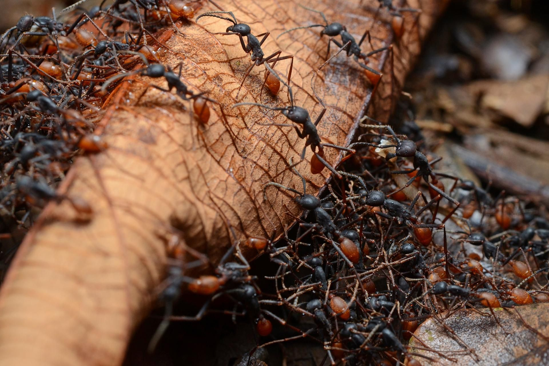 Рыжие лесные муравьи на даче вред или польза