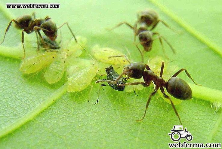 От муравьев народные средства в огороде. как избавиться от муравьев в саду и огороде народными средствами? | здоровое питание
