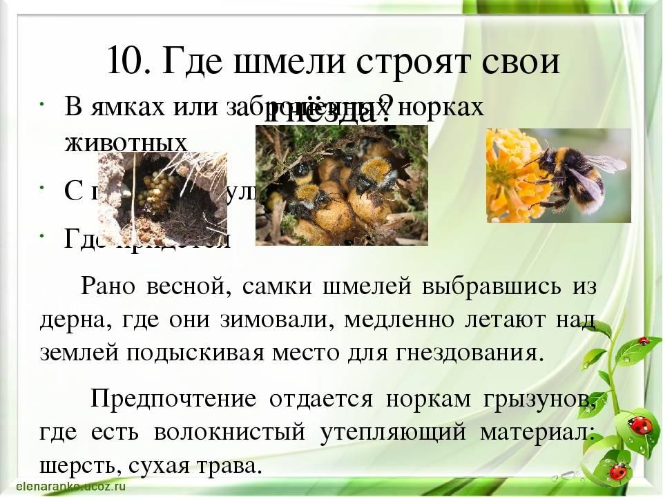 Где могут жить шмели: сколько живет шмель в природе, гнездо шмелей, как зимует