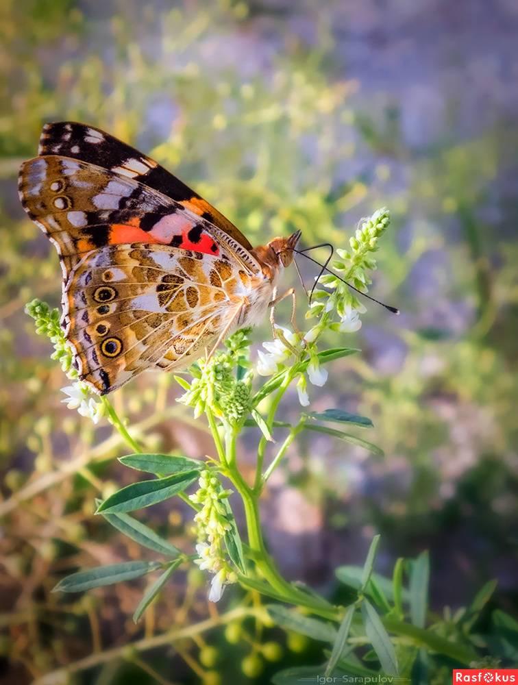 Капустница бабочка насекомое. описание, особенности, виды и фото капустницы