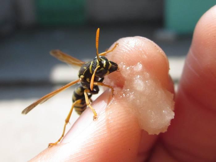 Осиный мед - как они его делают и можно ли его есть