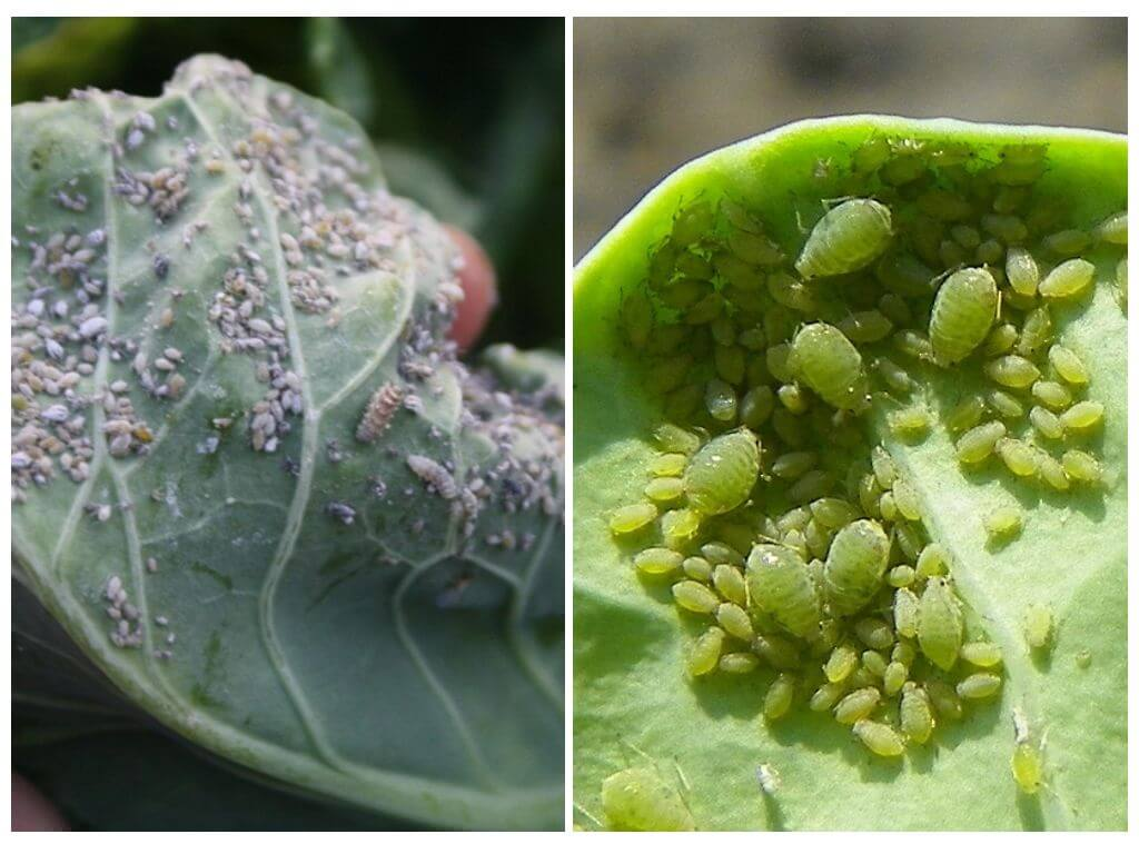Мошки на рассаде: как избавиться от них народными и химическими средствами