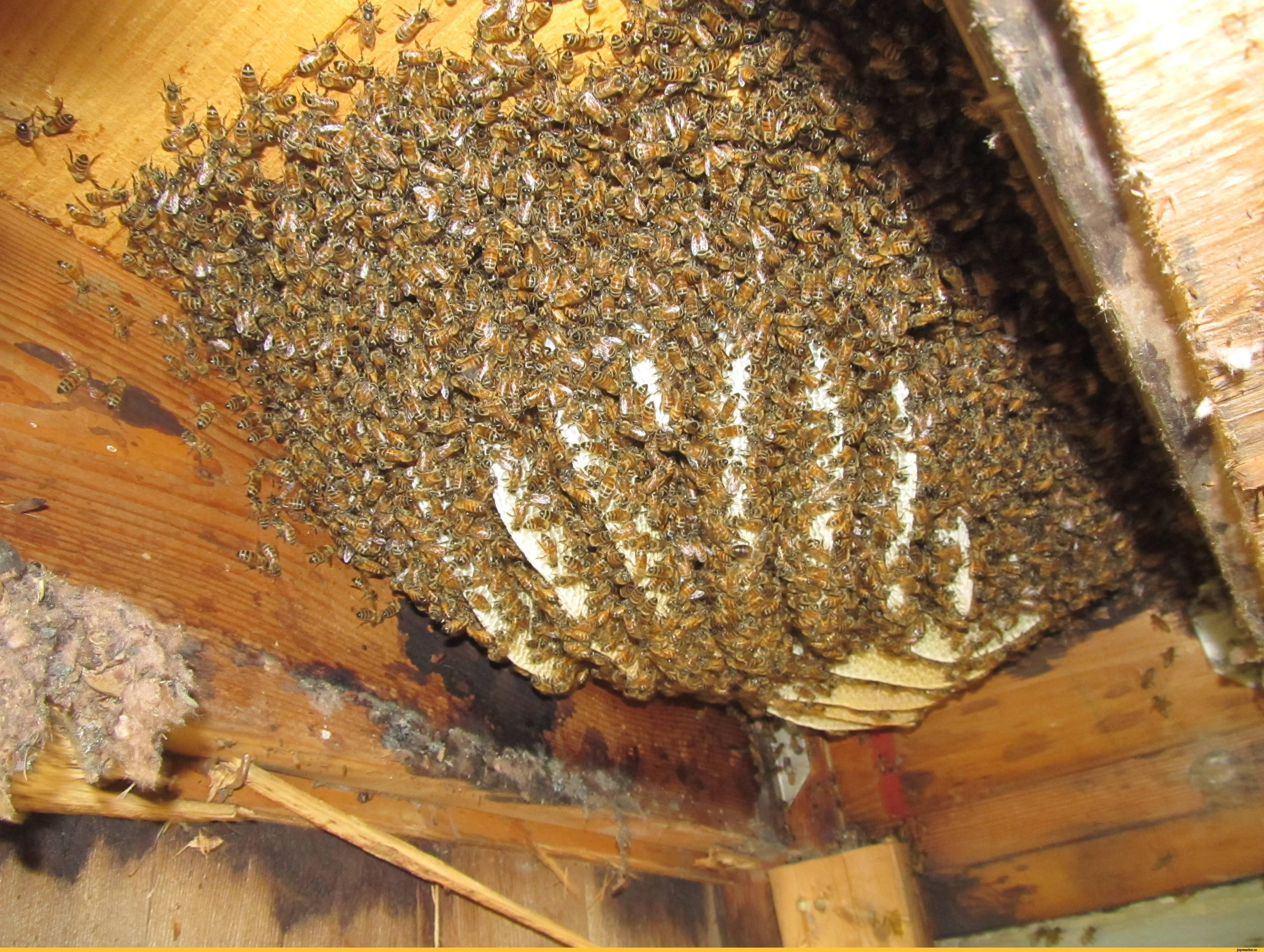 Как избавиться от шершней под крышей дома