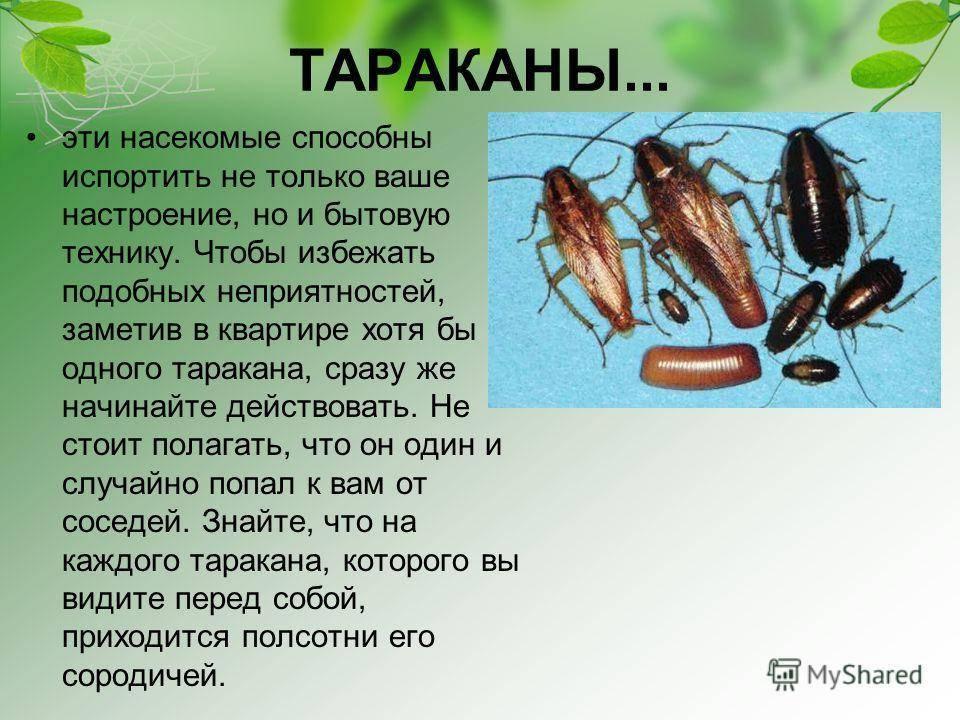 Домашние тараканы, особенности, польза, вред, как избавиться
