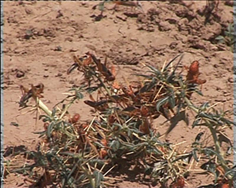 Насекомое вредитель саранча: разновидности и ареал обитания