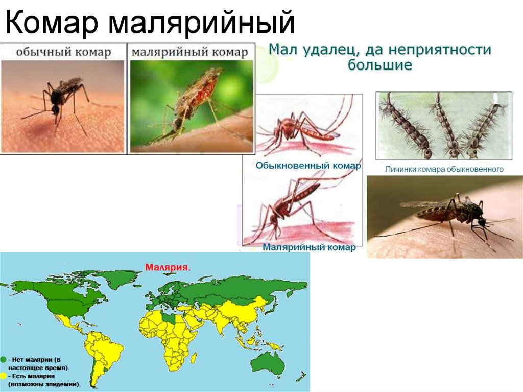 Комар – насекомое-кровопийца