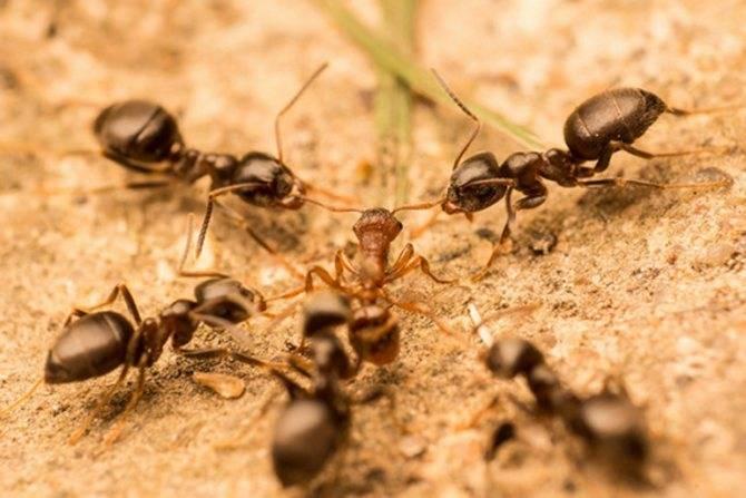 К чему снятся муравьи по соннику?
