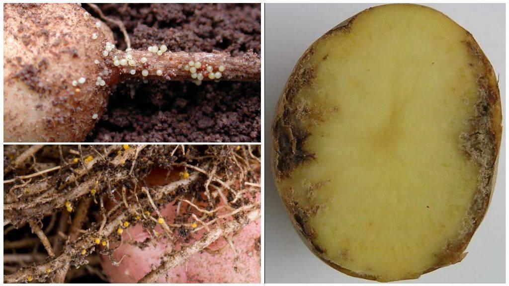 Чем опасна картофельная нематода