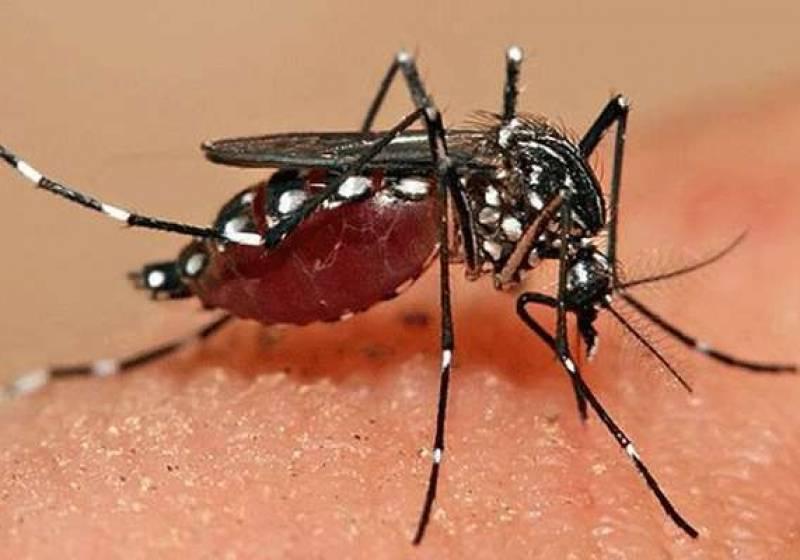 В ялте нашли смертельно опасных комаров | новости крыма