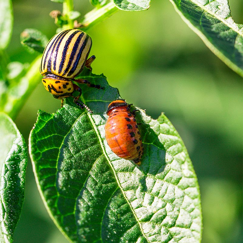 Борьба с колорадским жуком без химии: народные средства и биопрепараты