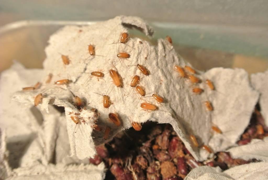 Особенности разведения туркменских тараканов