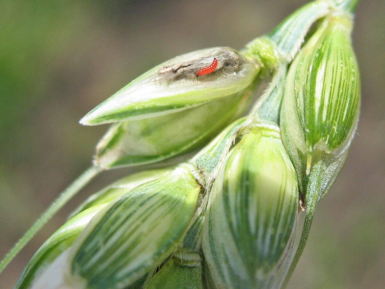 Калифорнийский трипс: западный цветочный вредитель, описание с фото русский фермер