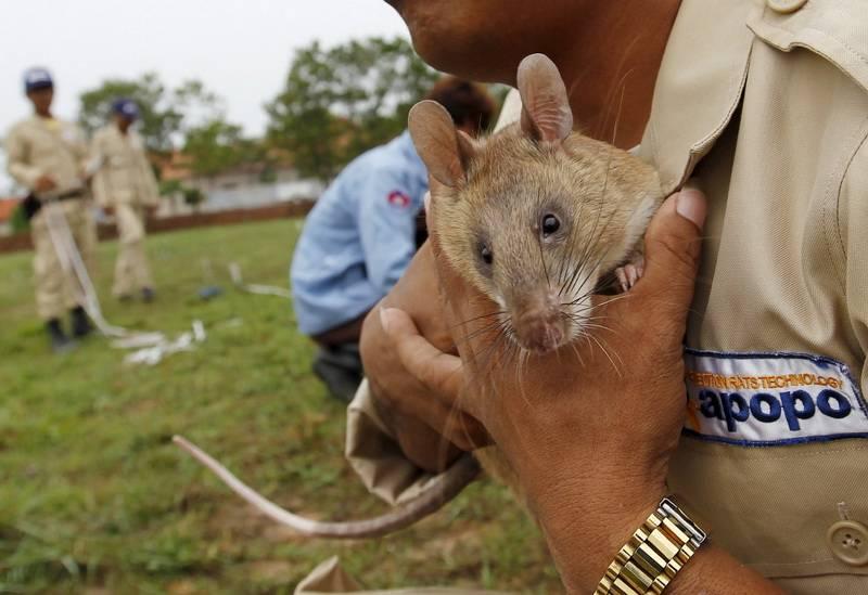 Гамбийские крысы на службе у человека
