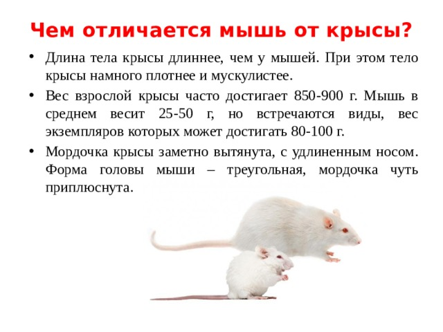 Кто пищит мыши или крысы. как отличить мышей от крыс. как отличить мышей от крыс основные признаки