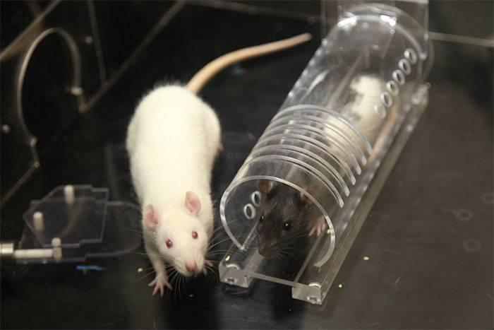 Поведение крыс: почему грызун прыгает, грызет клетку, скрипит и стучит зубами