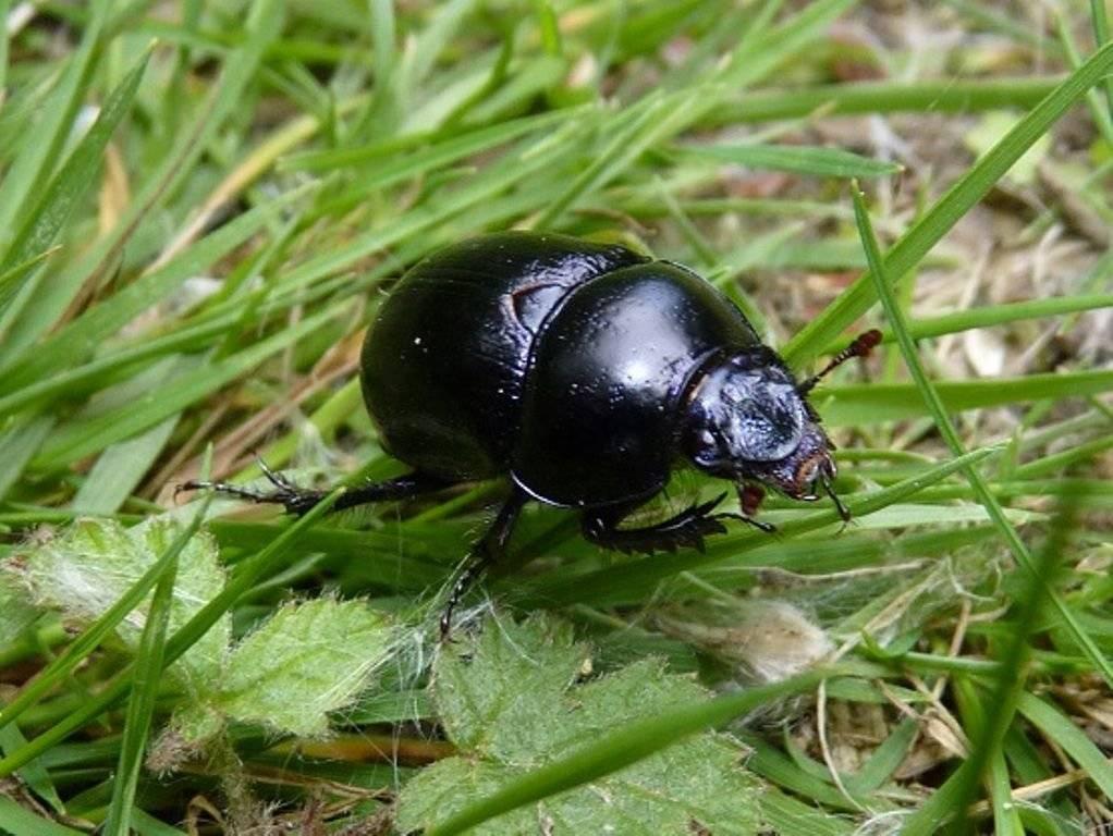 Скарабей жук насекомое. описание, особенности, образ жизни и среда обитания скарабея