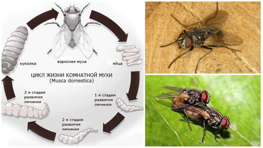 Жизненный цикл и размножение домашних мух: от личинки до взрослой особи