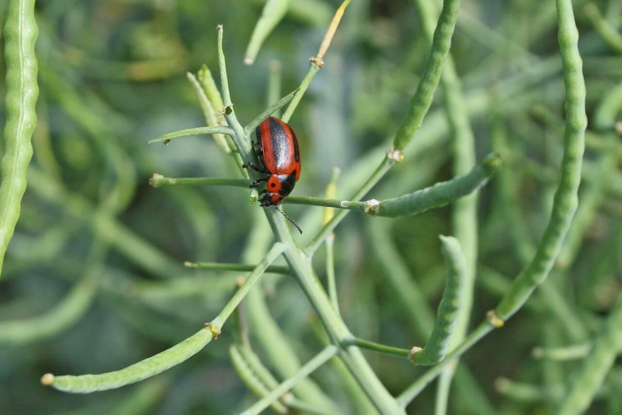 Бабануха – хреновый, капустный листоед