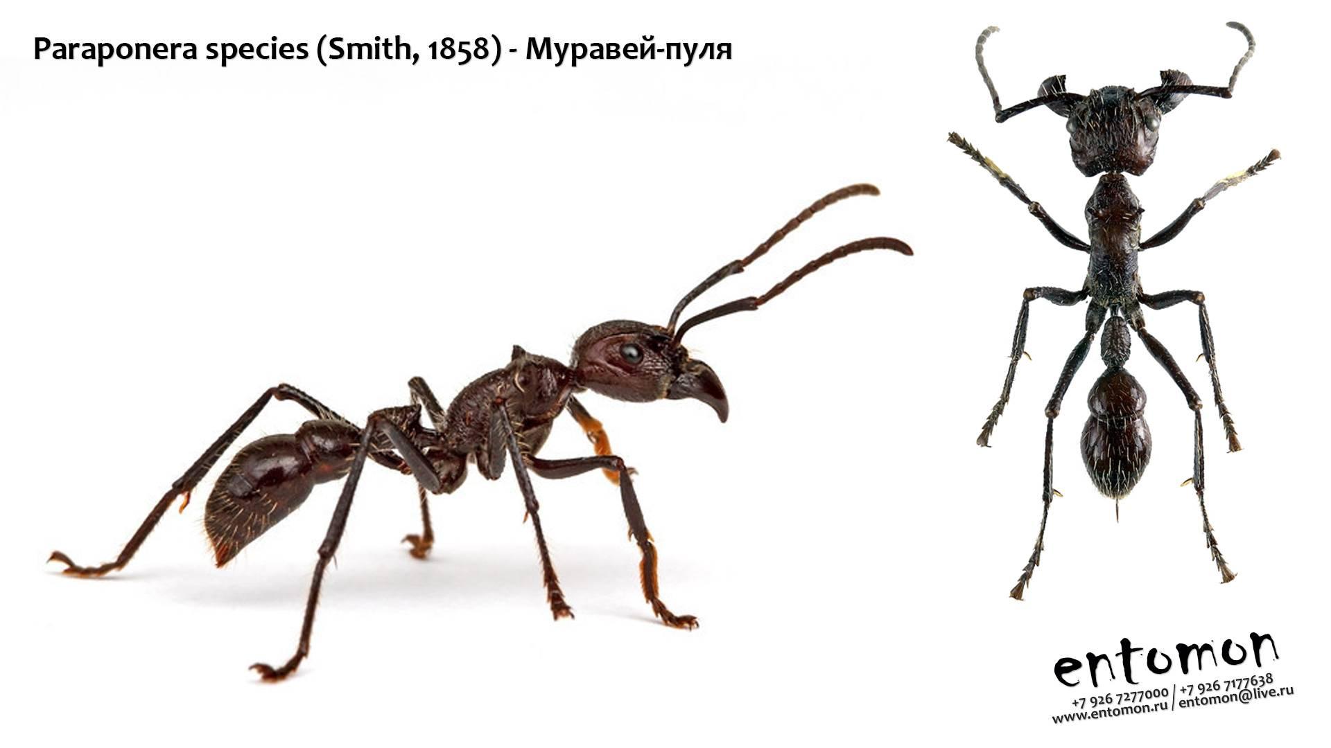Как выглядит муравей Пуля – отличительные черты, места обитания, особенности жизнедеятельности и развития колонии