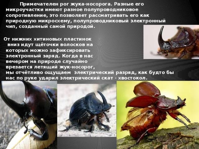 Чем питаются жуки носороги, мифы и реальность