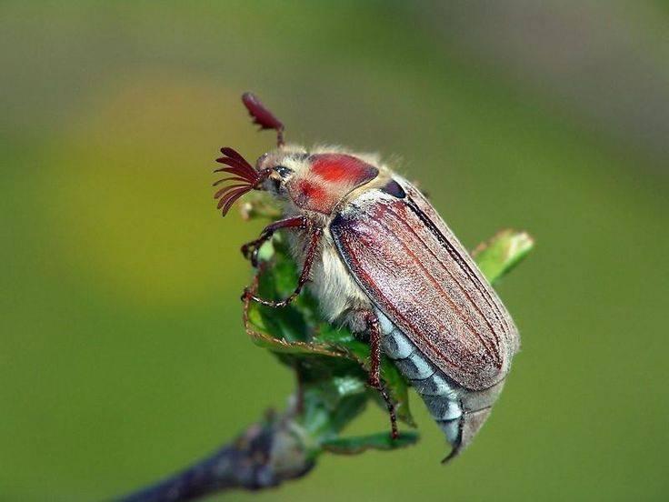 Как бороться с майским жуком: как избавить и уничтожить на участке и огороде русский фермер