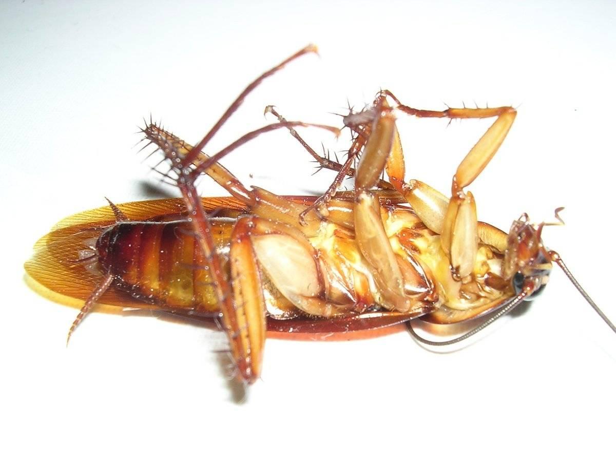 Простой вопрос – просто ответ: летают ли тараканы?