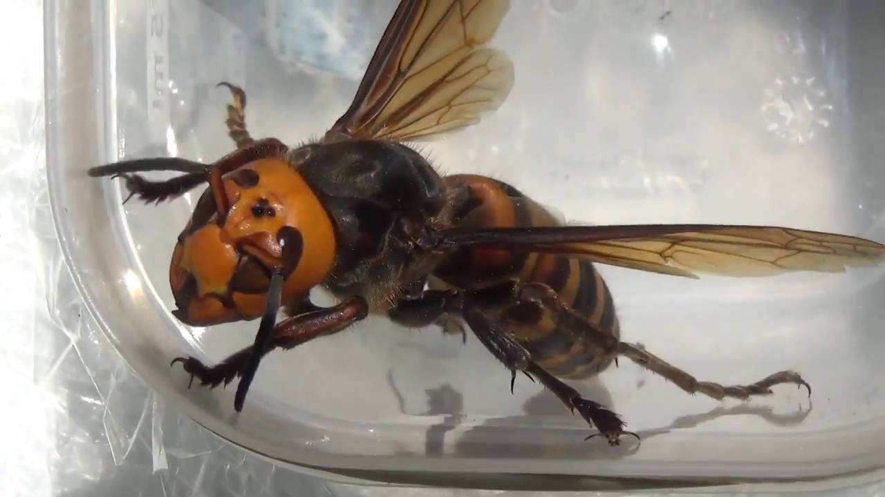 Самые большие осы – названия, фото и описание