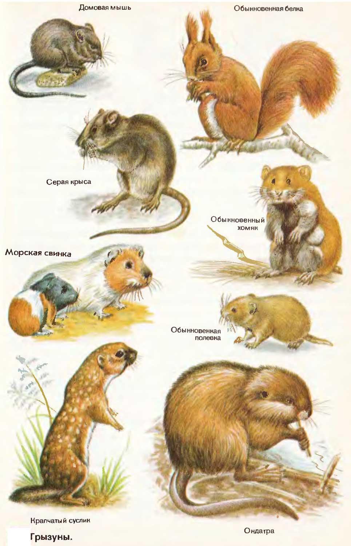 Лесные, полевые и желтогорлые мыши, их вред вашей даче