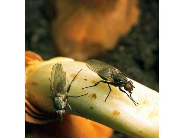 Как самостоятельно бороться с луковой мухой