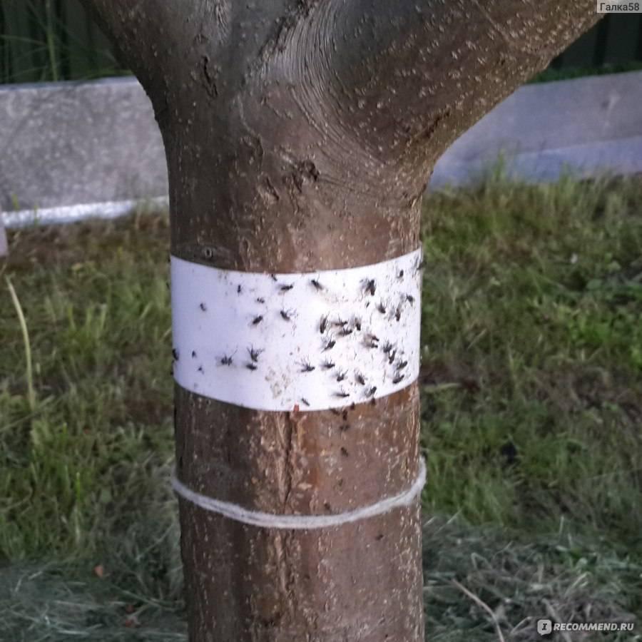 Как сделать ловчий пояс от муравьев самому