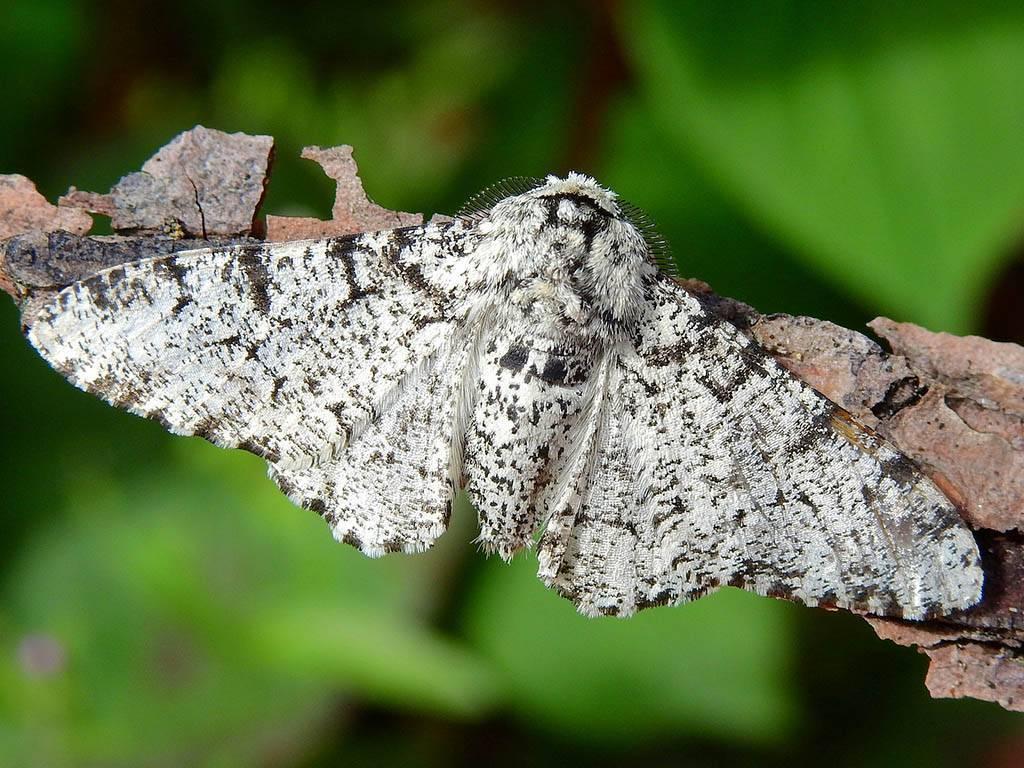 Пестрая каемчатая пяденица. бабочки пяденицы – вредители садовых, ягодных, декоративных культур гусеница землемер описание