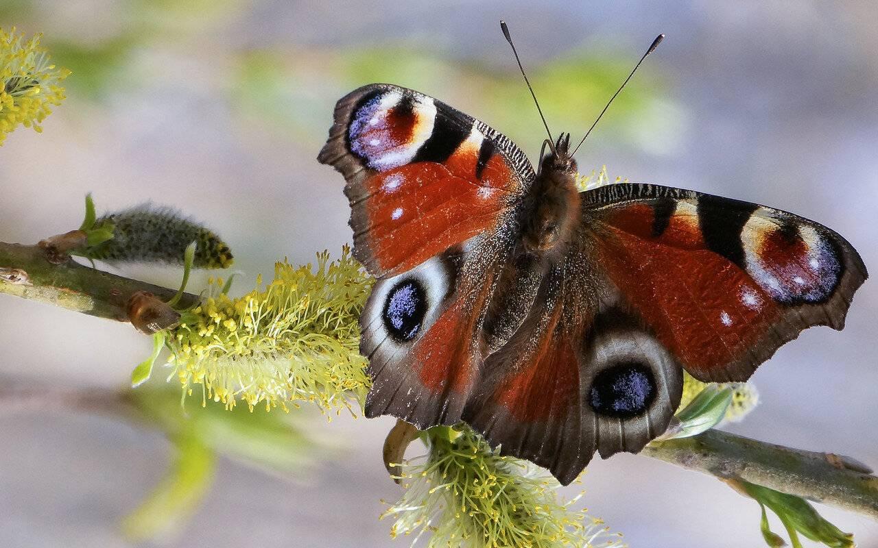 Бабочка павлиний глаз - описание, среда обитания, виды