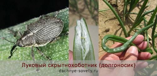 Луковый скрытнохоботник спасаем лук от вредителя