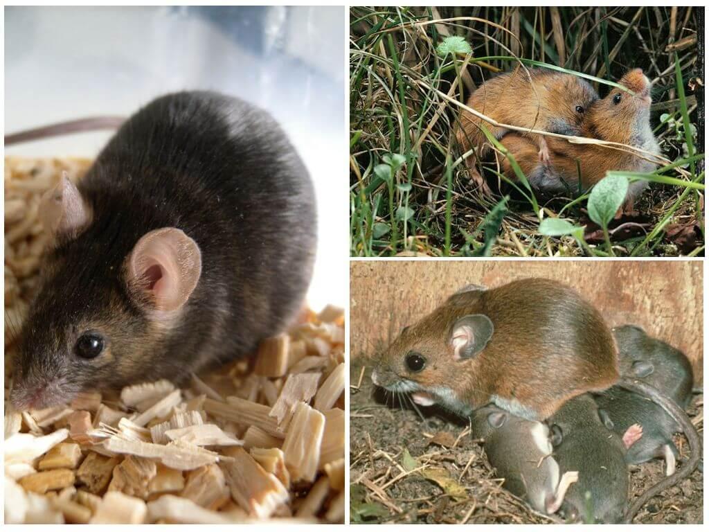 Виды мышей: лесные и полевые, желтогорлая, вред на даче русский фермер