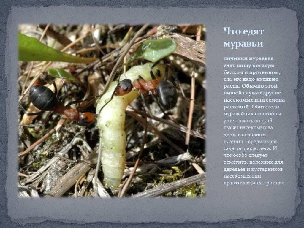 Чем питаются муравьи? описание, фото и видео  - «как и почему»
