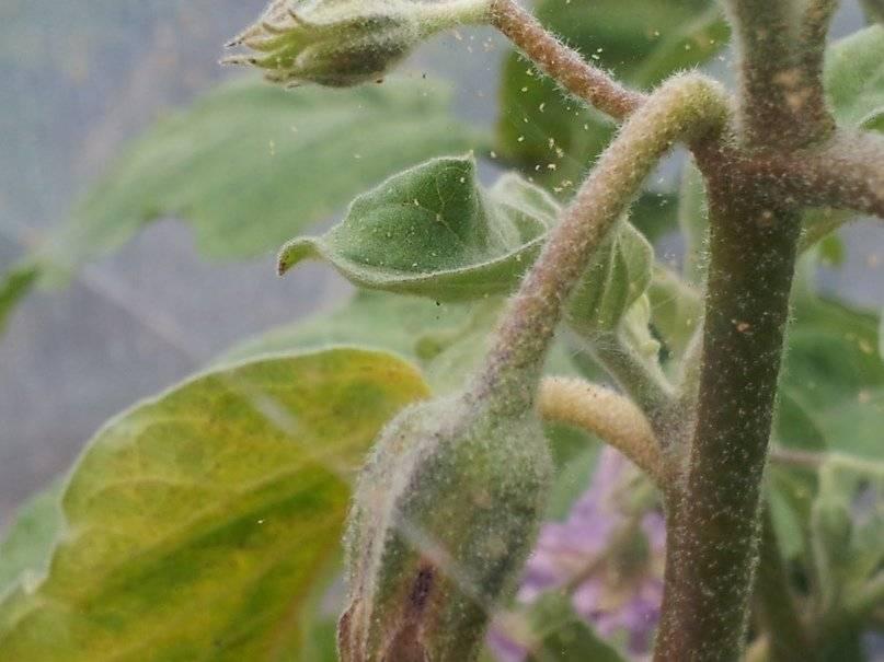 Паутинный клещ на томатах - как с ним бороться?   огородник какие признаки паутинного клеща на томатах?   огородник