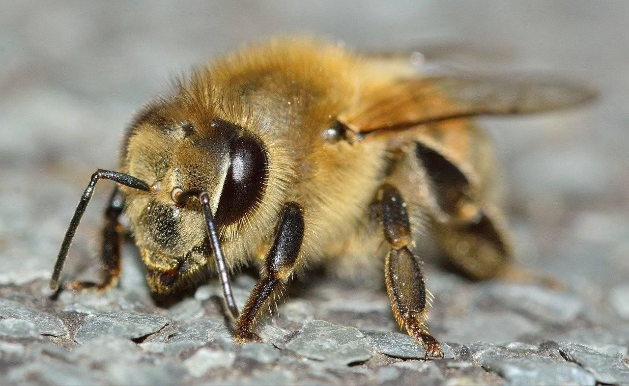 Медоносная пчела: сколько живет, строение и породы пчел