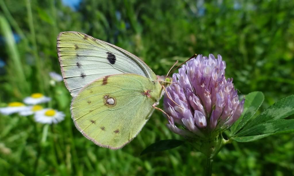 Доклад сообщение бабочка-капустница