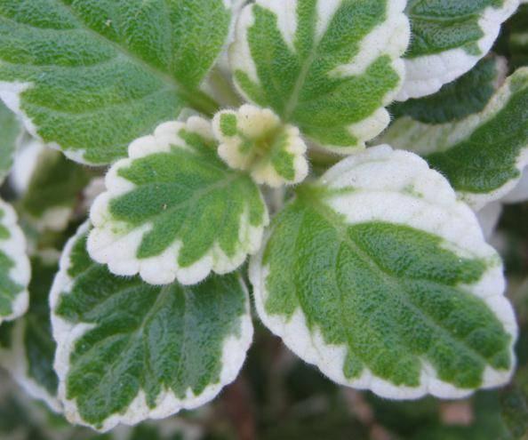 Растения-защитники сада и огорода, обладающие фитонцидными свойствами против вредителей: какие культуры выделяют фитонциды
