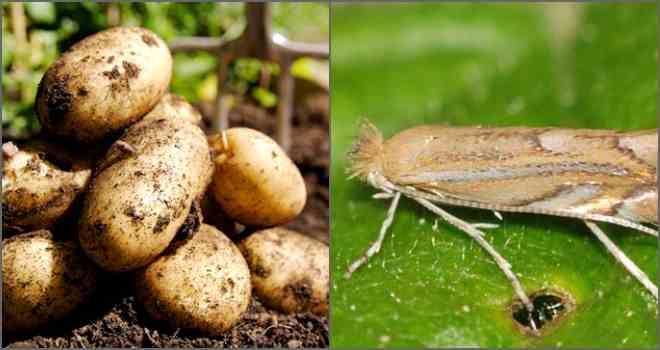 Картофельная моль: причины появления и как с ней бороться, методы выведения